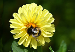 Bee Happy (Eleanor (No multiple invites please)) Tags: dhalia bee yellowflower hollandpark london august2016 nikond7200