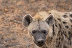 Hyena (crafty1tutu (Ann)) Tags: challenge hyena travel holiday southafrica africa motswariprivategamereserve crafty1tutu canon7dmkii wild inthewild roamingfree anncameron ef100400mmf4556lisiiusm animal