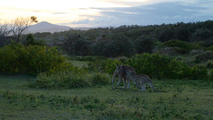 Eastern Grey Kangaroos (Byron Taylor) Tags: easterngreykangaroo kangaroo mammals marsupial coffsharbour australia canon canon7d