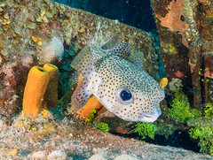 mr puffer..... (Ian Sempowski Wildlife and Landscape Photography) Tags: scubadiving ocean caribbean vacation nature scuba