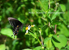 Black Swallowtail Butterfly (Mike Woodfin) Tags: photo picture photography photograph photos photoshop pretty park mikewoodfin mikewoodfinphotography butterfly fuji florida fl brandon hillsborough hillsboroughcounty nikon nature canon contrast color country
