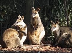 (Mal Doobie) Tags: featherdale animal featherdalewildlifepark australianwildlife sydney wallaby marsupial