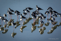 Black-necked Stilts in communal grooming before the sun goes down. (halladaybill) Tags: blackneckedstilt sanjoaquinwildlifesanctuary shorebird stilts nikkor80400zoomlens nikond7100 nikondslr orangecounty california