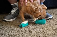 Mia05 (TrishaLyn) Tags: dogs animals pomeranian chihuahua pomchi pets feet