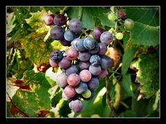 nur noch ein paar Tage Sonne (karin_b1966) Tags: frucht fruit wein wine garten natur nature 2016 trauben grape yourbestoftoday