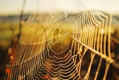 Spider's Trap (ukasz Babula) Tags: poland summer autumn spider web nature landscape bokeh depthoffield sunny sun sunrise natural outdoor september warm nikon d60 nikkor 1855