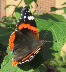 Red Admiral (billnbenj) Tags: barrow cumbria butterfly buddleia redadmiral