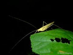 Phaneroptera falcata (Shiori Hosomi) Tags: 2016 september japan tokyo 23  insects entomon          orthoptera tettigoniidae phaneroptera   noctivagant noctuary nocturnal night