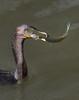 Capture chanceuse pour moi pas pour le brochet ----  ( ou maskinongé ) (Jacques Sauvé) Tags: capture chanceuse brochet poisson proie prey cormoran fatal cormorant cormoranes ave bird parc frayère boucherville québec canada pike maskinongé muskie musky northern