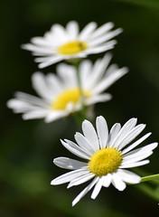 DSC_0146 (Kelson Souza) Tags: flor primavera flower flowers natureza beleza jardim jardinagem garden gardens colorido floricultura petalas ptalas florescer flores margarida margaridas