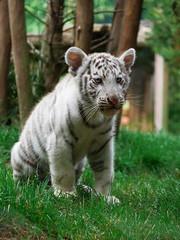 Tigreau blanc (elodiemuhlach) Tags: tigreblanc tigre flin zoo amnville zooamneville animaux