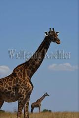 10077402 (wolfgangkaehler) Tags: 2016africa african eastafrica eastafrican kenya kenyan masaimara masaimarakenya masaimaranationalreserve wildlife grassland grasslands masaigiraffe masaigiraffegiraffacamelopardalis masaigiraffegiraffacamelopardalistippelskirchi giraffe giraffes