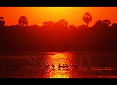 (Sara-D) Tags: sunset nature birds animals forest asia wildlife aves sl lanka srilanka ceylon lk srilankan wildanimals southasia mannar sarad serendib asianwildlife saranga birdsofsrilanka sunsetwithbirds birdsofsouthasia dealwis theimagesofsrilanka sarangadeva