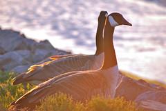 backlit geese (Tantivy_J) Tags: bird backlight geese wildlife aves goose canadagoose brantacanadensis anatidae anseriformes nikond60 backlitgeese
