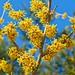 Vernal Witch-hazel (Hamamelis vernalis) in Flower