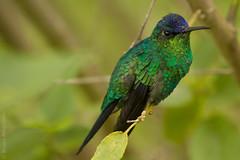 Goncalves_133@20130330.jpg (Br@hl) Tags: bird nature animals brasil canon outdoors places mg 7d beijaflor gonçalves brhl canon7d goncalvesmg brunoahlgrimm