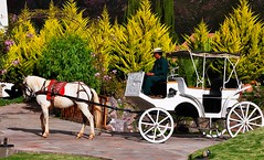 Hotel Transportation (sfPhotocraft) Tags: horse peru southamerica hotel carriage resort transportation sacredvalley whitehorse horseandcarriage schimmel aranwa aranwahotel hoteltransportation