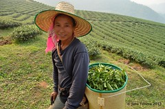 Tea picker (janateneva) Tags: thailand teaplantation thaitea tealeaves maesalong