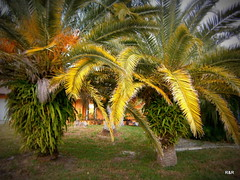 Canarian Palm Trees (rockczar) Tags: florida palmtrees canarian
