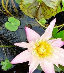 lily pond (robina wheeler) Tags: pond lily lilypond