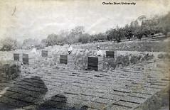 Wagga Experiment Farm (CSU Regional Archives) Tags: fruit orchard agriculture trays driedfruit drying waggawagga charlescrane charlessturtuniversity sa1634 waggaexperimentfarm
