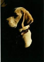 la discrtion mme (minus1349) Tags: chien labrador fabuleuse