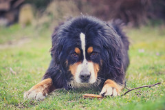 Goter de 4h (N'Grid) Tags: dog chien animal bernesemountaindog bouvier boutchou bouvierbernois bernesemountain