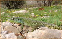 Lacerta media israelica [adult] -   (moshek70) Tags: nature israel reptile wildlife lizard  reptiles hermon mounthermon