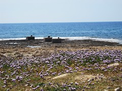 Purple flowers on rocks (@CyprusPictures) Tags: travel island culture rockformations paphos akamas coastalfootpath cypruspictures photosofcyprus viewsofcoastalpaphos thulbornchapmanphotography