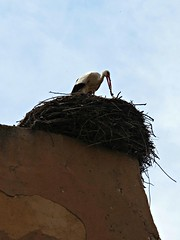 Cicogna. (Vale Shorts) Tags: wall marrakech stork cicogna