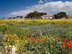 Cyprus Spring (Mark Twells) Tags: flowers blue red color colour green yellow spring cyprus poppy poppies paphos cypriot