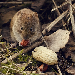 the vole and his prize (Black Cat Photos) Tags: wild portrait england cute scale nature face closeup canon outside mammal bigeyes rodent leaf moss furry hands wildlife yorkshire small adorable reserve bank ground whiskers size tiny meal trust peanut wee british nut vole teeny comparison munch hold britishwildlife britian est leaflitter fairburn bankvole