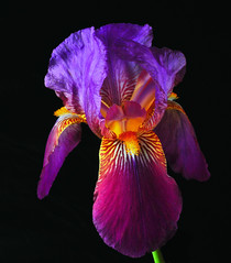 Freshly Picked (Bill Gracey) Tags: iris flower macro nature fleur flor softbox reflector macrolens macrophotography reflectedlight directionallight offcameraflash tabletopphotography yn560ii yongnuorf603n