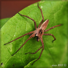 Pisaura Mirabilis (decio69) Tags: wild macro nature animals spider nikon natura nikkor animali ragno decio d300 2013 nikkor105 105vr galleryragni