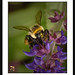 Bumble Bee-auty