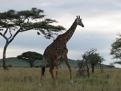 IMG_0321 (LardButty) Tags: elephant tanzania buffalo jackal flamingo zebra monkeys giraffe hippo hippopotamus impala serengeti hyena ostriches wildebeest baboons topi serengetisopalodge ndabakagate april2013 lilactours