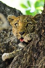 Maroela loop leopard.