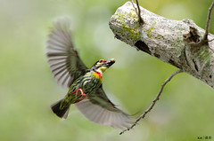 Barbet in flight (kengoh8888) Tags: wild people tree green nature pose hole pentax action no background flight sigma clean avian creamy k5 nesting coppersmith pecking barbet specanimal mygearandme 500f45