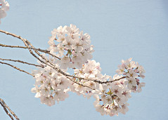 Spring Botanical -- Fluffy Cherry Tree Buds & Flowers On Carolina Blue Sky 1 (Chickens in the Trees (vns2009)) Tags: flowers blue sky painterly tree nature floral cherry botanical spring soft blossoms fluffy carolina flowering textured blooming texturized