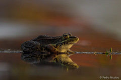 Reflexo | Reflections (pnicolau) Tags: sunset wild reflection animals canon reflections mirrors frog frogs sapo amphibians rana perez herpetology rã 400mm común rãs perezi rãverde anfíbios raña herpetologia perezs pelophylax