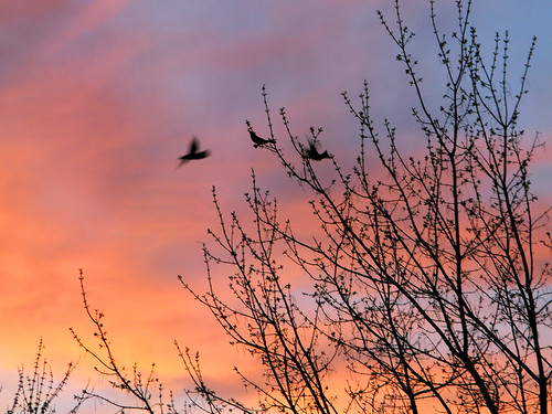 Sunset, Spring Buds and Birds _6514