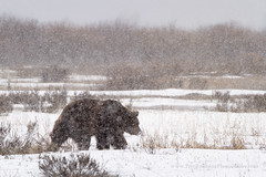 Grizzly Bear in Late Winter Storm (Free Roaming Photography) Tags: bear usa snow storm west male weather animal silhouette season walking fur mammal nationalpark spring adult walk wildlife profile snowstorm northamerica wyoming predator snowfall heavy moran boar grandteton jacksonhole winterstorm precipitation grizzlybear grandtetonnationalpark willowflats