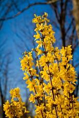 flowering trees (FarFlungTravels) Tags: ohio spring cleveland forsythia cuyahoga flowering oleaceae