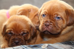 Dogue de Bordeaux (laurencebissett) Tags: doguedebordeaux