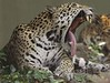 bocejo reino animal 8 (Cassio Wasser) Tags: bocejo yawning