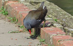 Gallinula chloropus (a Moorhen) 1b (Jonathan (chirpy)) Tags: uk bird nature wildlife panasonic berkshire moorhen californiacountrypark fz200