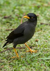 J77A3403 -- A Myna in the Botanical Garden in Singapore (Nils Axel Braathen -- Thanks a lot for +200K views) Tags: nature birds singapore wildlife fugler oiseaux minah myna mynah vogeln mygearandme mygearandmepremium mygearandmebronze