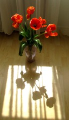 Tulipn s az rnyk - tulip and shadow (hattyu) Tags: shadow flower tulip virg tulipn 2013 rnyk