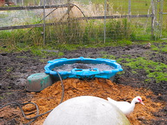 April 28/13 - The Ducks in their New Pens (Primespot Photography) Tags: canada duck bc britishcolumbia duckling muscovy fraservalley muscovyduck lowermainland babyduck