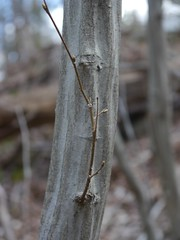"American Hornbeam bark and bud • <a style=""font-size:0.8em;"" href=""http://www.flickr.com/photos/92887964@N02/8691083486/"" target=""_blank"">View on Flickr</a>"